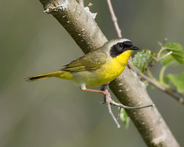 Common Yellowthroat, Chinook Mine, May 25, 2008.