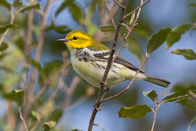Black-throated Green Warbler, Wabashiki FWA, Vigo County, Indiana, September 19, 2012.