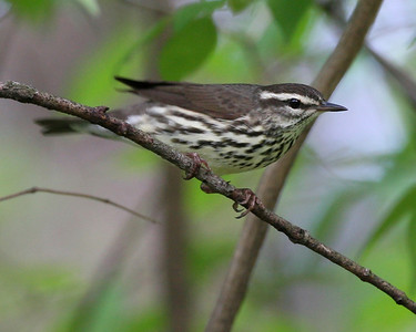 Louisiana Waterthrush, Dobbs Nature Park, Vigo County, Terre Haute, Indiana, April 28, 2008.