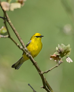 Blue-winged Warbler, near Marshall Covered Bridge in Parke County, Indiana, May 4, 2010.