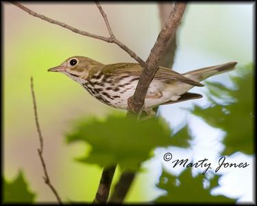 Ovenbird, Pine Hills Nature Preserve, Montgomery County, Indiana, June 28, 2008.