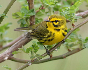 Prairie Warbler, Shades State Park, April 24, 2008.