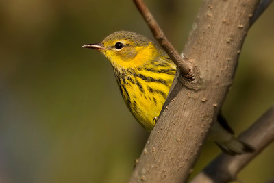 Cape May Warbler, Brazil Lagoons, Clay County, Indiana, September 20, 2012.