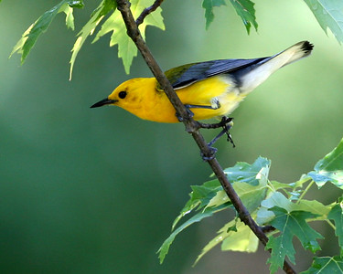 Prothonotary Warbler, SW Vigo County, Indiana River Bottoms, July 6, 2007.