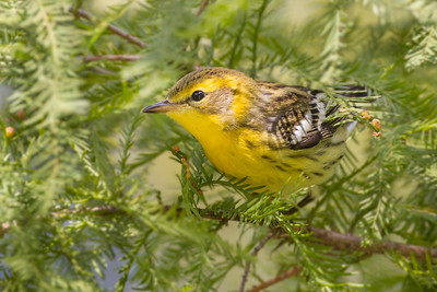 Blackburnian Warbler, Horticulture Park, West Lafayette, Indiana, September 23, 2012.
