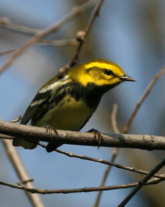 Black-throated Green Warbler, Forest Park, North Terre Haute, Indiana, September 9, 2007.