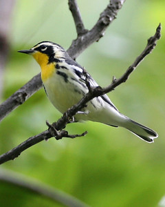 Yellow-throated Warbler, SW Vigo County Indiana - Wabash River Wetlands, September 8,, 2007.