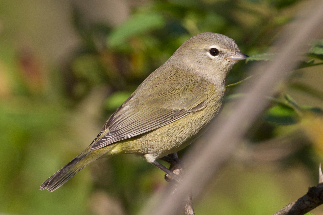 new world warblers 35 of 37 species expected in indiana have