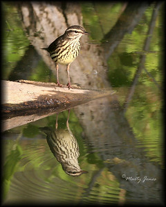 Northern Waterthrush,  Photographed along the historic Tow Path Canal, Parke County, Indiana, May 12, 2008.