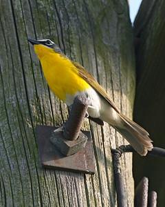 Yellow-breasted Chat, Minnehaha FWA, Sullivan County, Indiana, June 21, 2007.