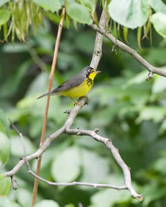 Canada Warbler, Forest Park, NorthTerre Haute, Indiana, May 14, 2010. My 284th photographed Indiana bird species.