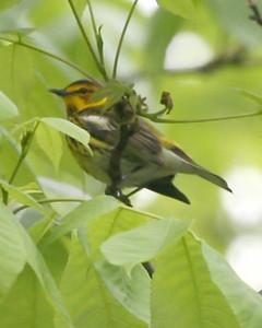 Cape May Warbler, Backyard, Vigo County, Indiana, May 16, 2008.