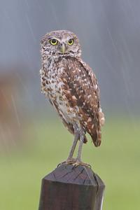 Burrowing Owl, Cape Coral, Florida, June 2012.