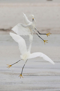 Snowy Egrets, Ft. Myers Beach, Florida, June 2012.