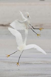 Snowy Egrets, Ft. Myers Beach, Florida, June 2012.