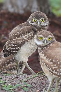 Burrowing Owls, Cape Coral, Florida, June 2012.