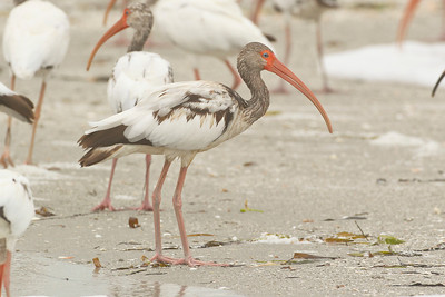 White Ibis, Captiva Beach, Florida, June 2012.