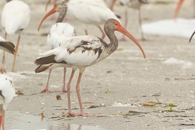 White Ibis, Captiva Beach, Florida, June 2012.