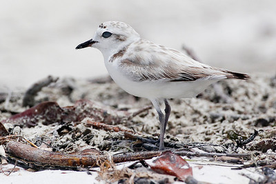 Snowy Plover, Ft. Myers Beach, Lover's Key,Florida, June 2012.