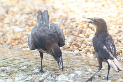Boat-tailed Grackle Ft. Myers Beach, Florida, June 2012.