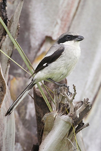 Loggerhead Shrike, Ft. Myers Beach, Florida, June 2012.