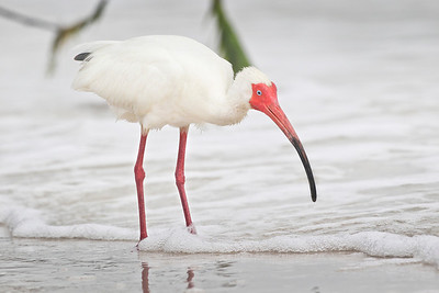 White Ibis, Ft. Myers Beach, Florida, June 2012.