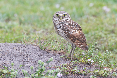 Burrowing Owl, Cape Coral, Florida, June 2012.