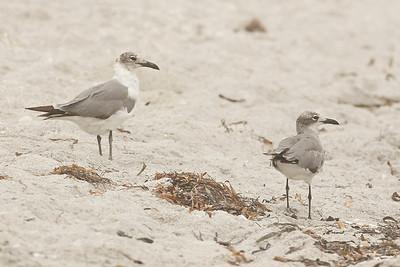 Laughing Gulls, Ft. Myers Beach, Florida, June 2012.