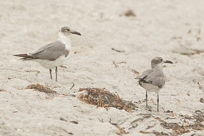 Laughing Gulls, Ft. Myers Beach, Florida, June 2012.