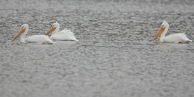 American White Pelican, Eagle Creek Park, March 6, 2008.