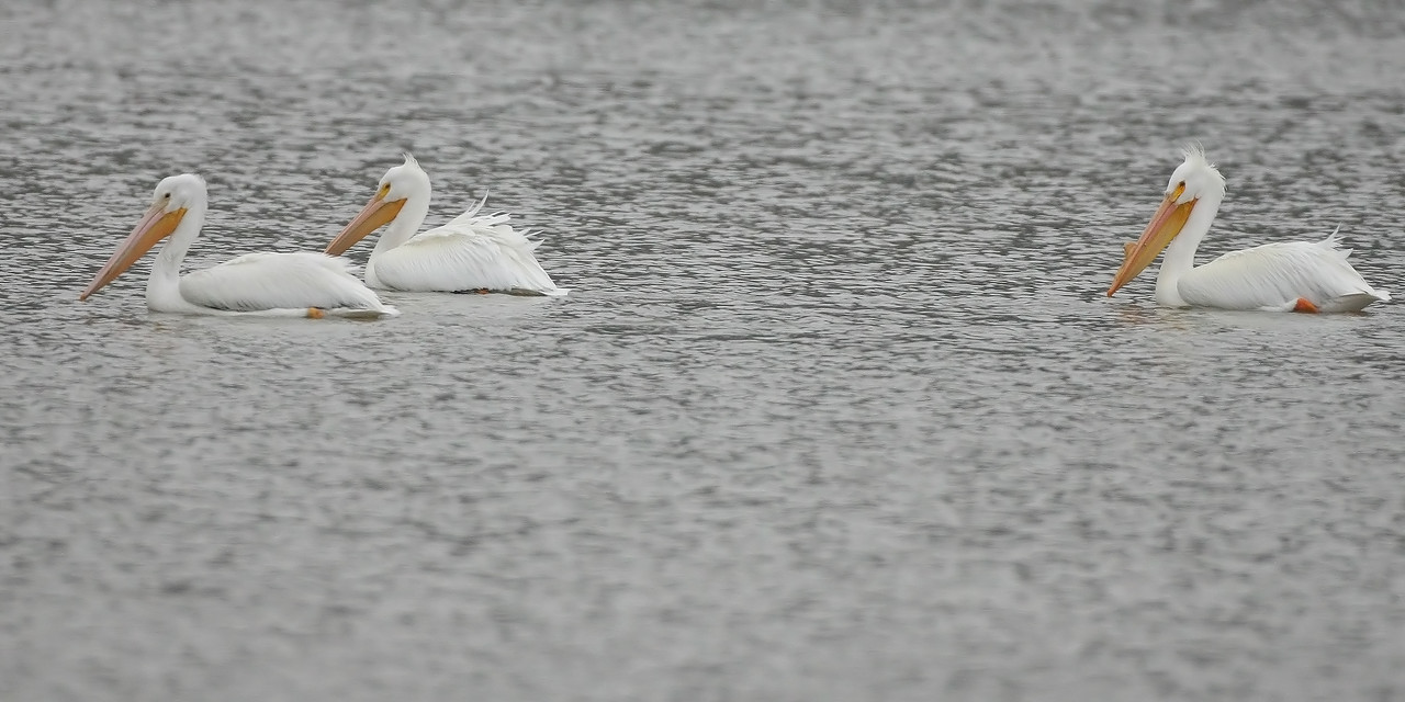 American White Pelican, Eagle Creek Park, March 6, 2008.