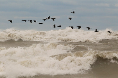 Double-crested Cormorants, Lake Michigan, Fall 2013.