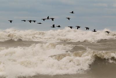 Double-crested Cormorants, Lake Michigan, Fall 2013.