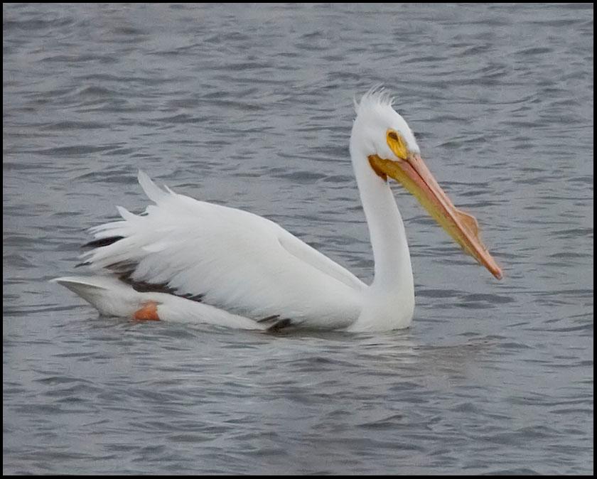 American White Pelican, Chinook Mine North, Vigo County, Indiana, April 2009.