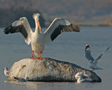 Pelicans and Cormorants - Each of the two species expected in Indiana have been photographed