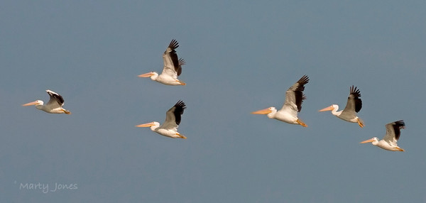 Pelicans heading south from Wabashiki, July 30, 2010.