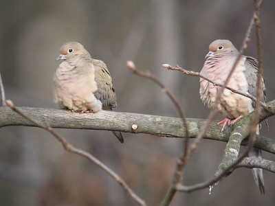 Mourning Doves, Backyard, Terre Haute, Indiana, March 3, 2004