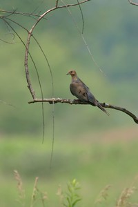 Mourning Dove, Northern Chinook Mine, July 17, 2005.