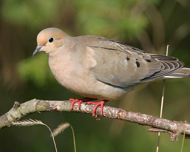 Mourning Dove, Prophetstown State Park, April 17, 2006.