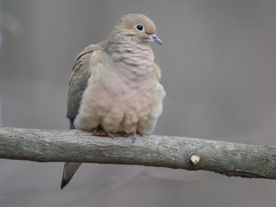 Mourning Dove, Backyard, Terre Haute, Indiana, March 3, 2004