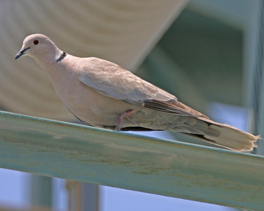 Eurasian Collared Dove, East Beech and Holloway Streets at the Grain Elevator and Substation in Sullivan, Indiana.  July 1, 2006.
