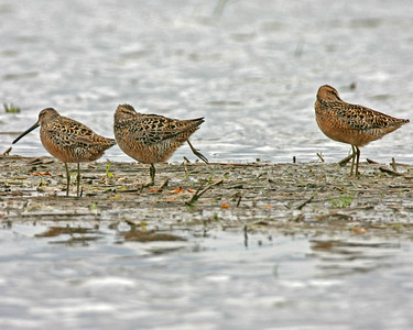 Long-billed Dowitchers, CR 700 S 100 E, Montgomery County, Indiana, May 11, 2006.