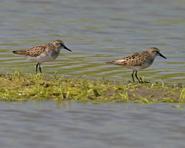 White-rumped Sandpipers, Goose Pond, Greene County, Indiana, June 4, 2006