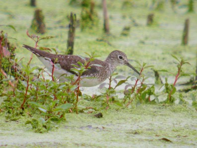Solitary Sandpiper, August 18, 2005, Chinook Mine, Moyer and Light Road, Clay County, Indiana.