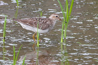 Stilt Sandpiper, JI Case Wetland, Vigo County, Indiana, Early August 2012.