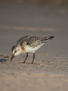 Sanderling, Miller Beach/Lake Michigan, Sept 22, 2005.