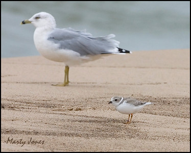 """Peaceful Coexistence"" Piping Plover, Ring-billed Gull in background, Indiana Dunes State Park, Lake County, Indiana, September 5, 2008.  Leg bands indicate this is a northern Michigan banded bird."