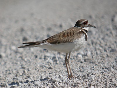 Killdeer, Parking lot in LaPorte County, Indiana. July 8, 2004.