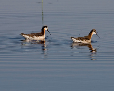 Wilson's Phalaropes, 700 S 100 E, Montgomery County, Indiana, May 19, 2008.