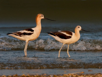 American Avocet, Lake Monroe at Fairfax Beach, Monroe County, Indiana, August 16, 2010.  A total of six were present.  Found by Michael Brown and reported by Lee Sterrenburg.